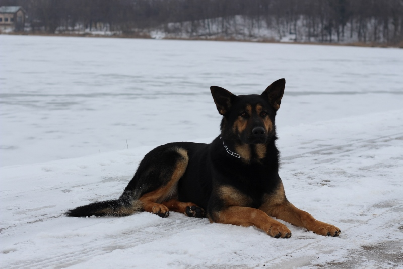 Aykmar-Protection Dog
